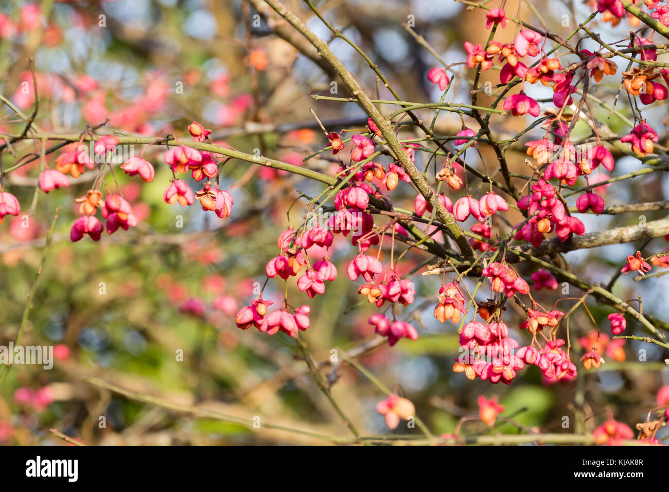 Orange seeds in the pink capsular fruits of the UK native hedgerow spindle tree, Euonymus europaeus - Stock Image