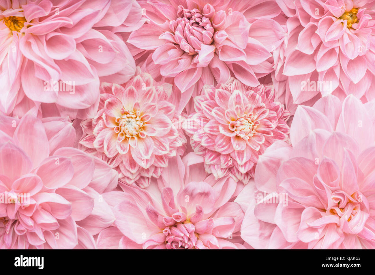 Pastel Pink Flowers Background Top View Layout Or Greeting Card