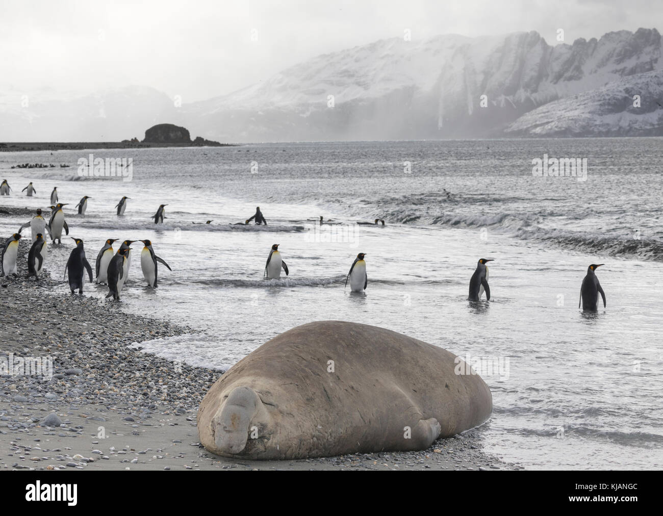 Sleeping male elephant seal and king penguins, Salisbury Plain, South Georgia Island - Stock Image