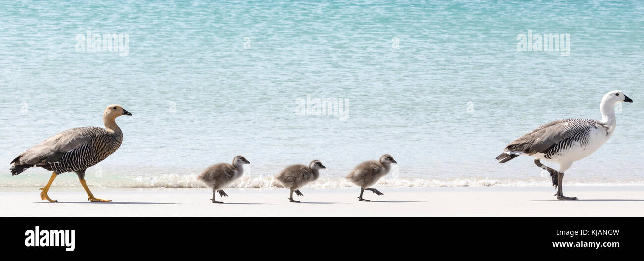 Upland goose and gander with chicks on beach at Carcass Island, Falkland Islands - Stock Image