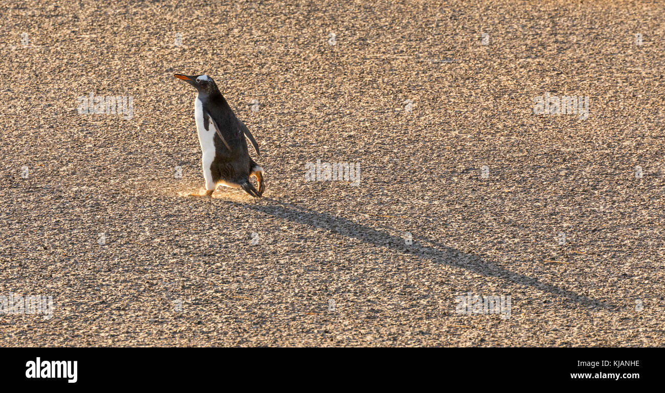 Gentoo penguin out for an early morning stroll, Saunders Island, Falkland Islands - Stock Image