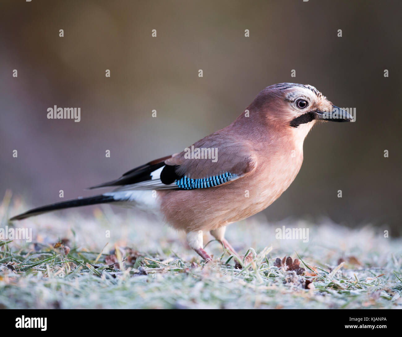 A Jay (Garrulus glandarius) searches on the frost covered ground for food, Lincolnshire - Stock Image