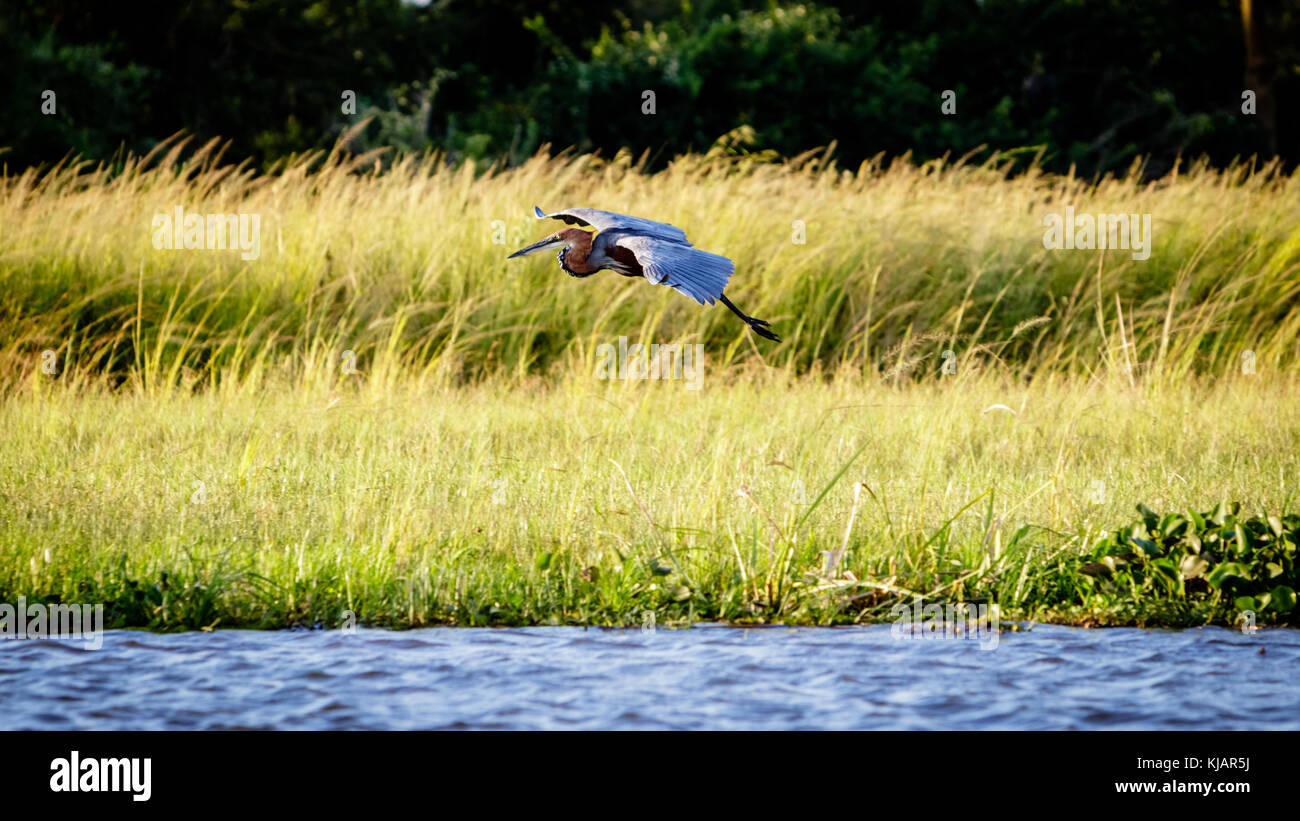 A marabou stork gliding down the shore of the Nile during a sunset cruise in Murchison Falls national park in Uganda. Stock Photo
