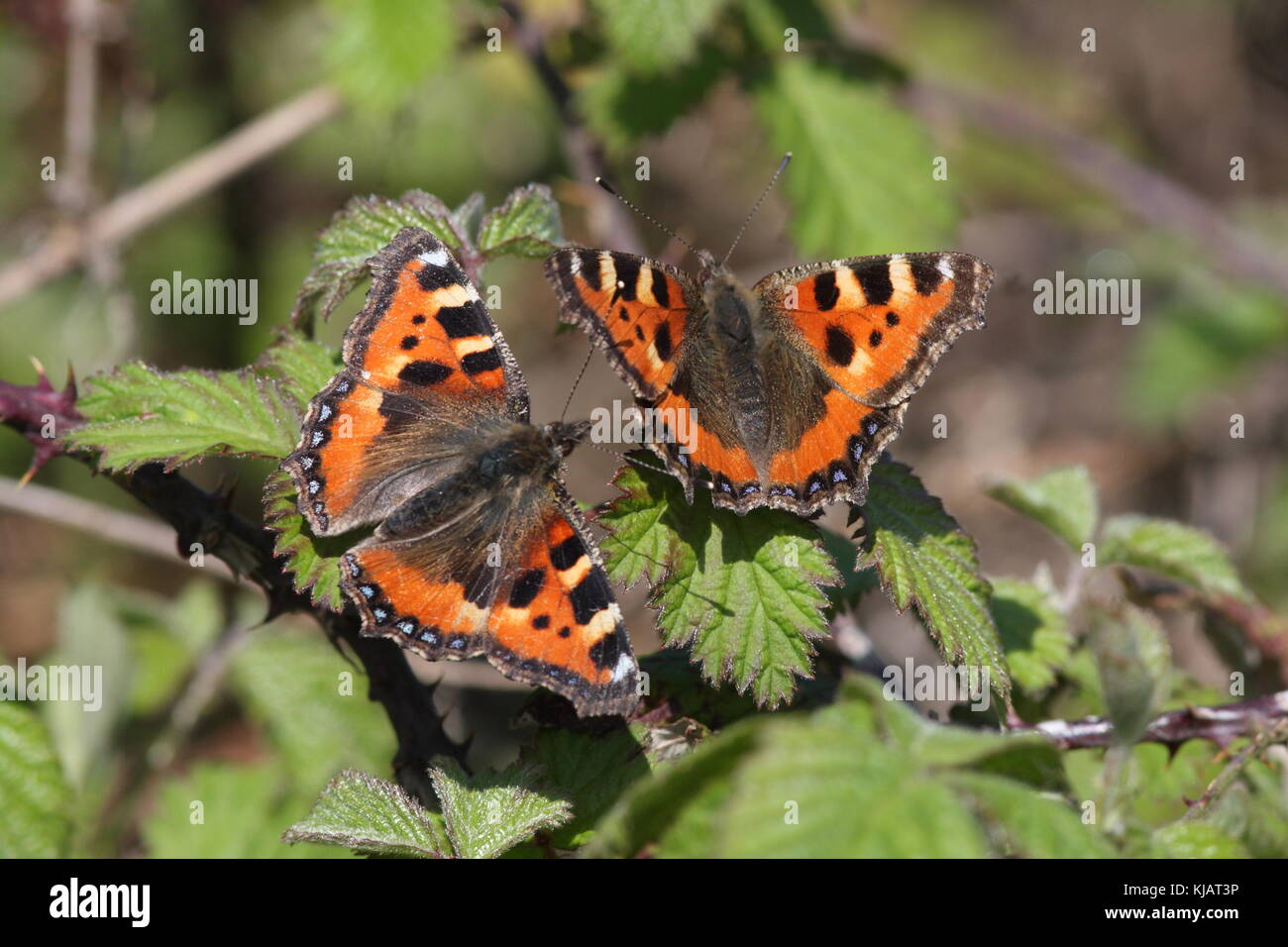 Two Small Tortoiseshel Butterflies on Bramble leaves, with their wings open, the latin name is Aglais urticae Stock Photo