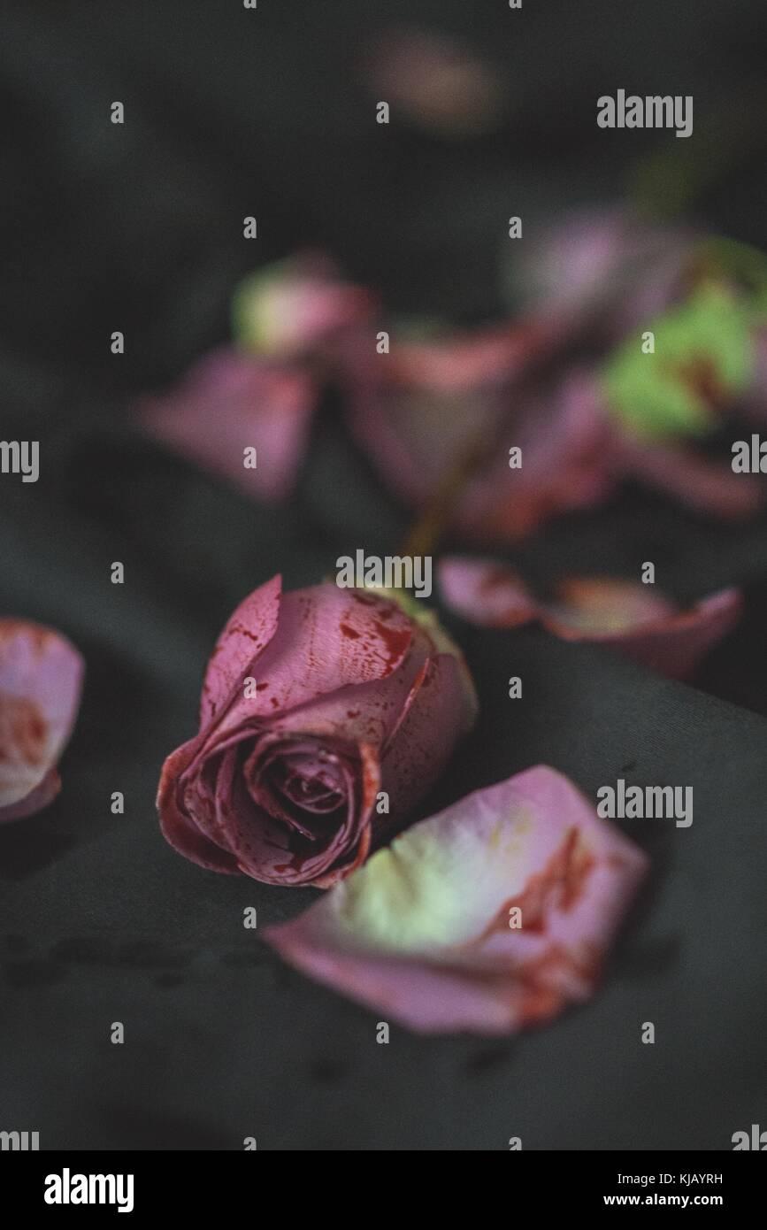Bloody Rose on Black - Stock Image