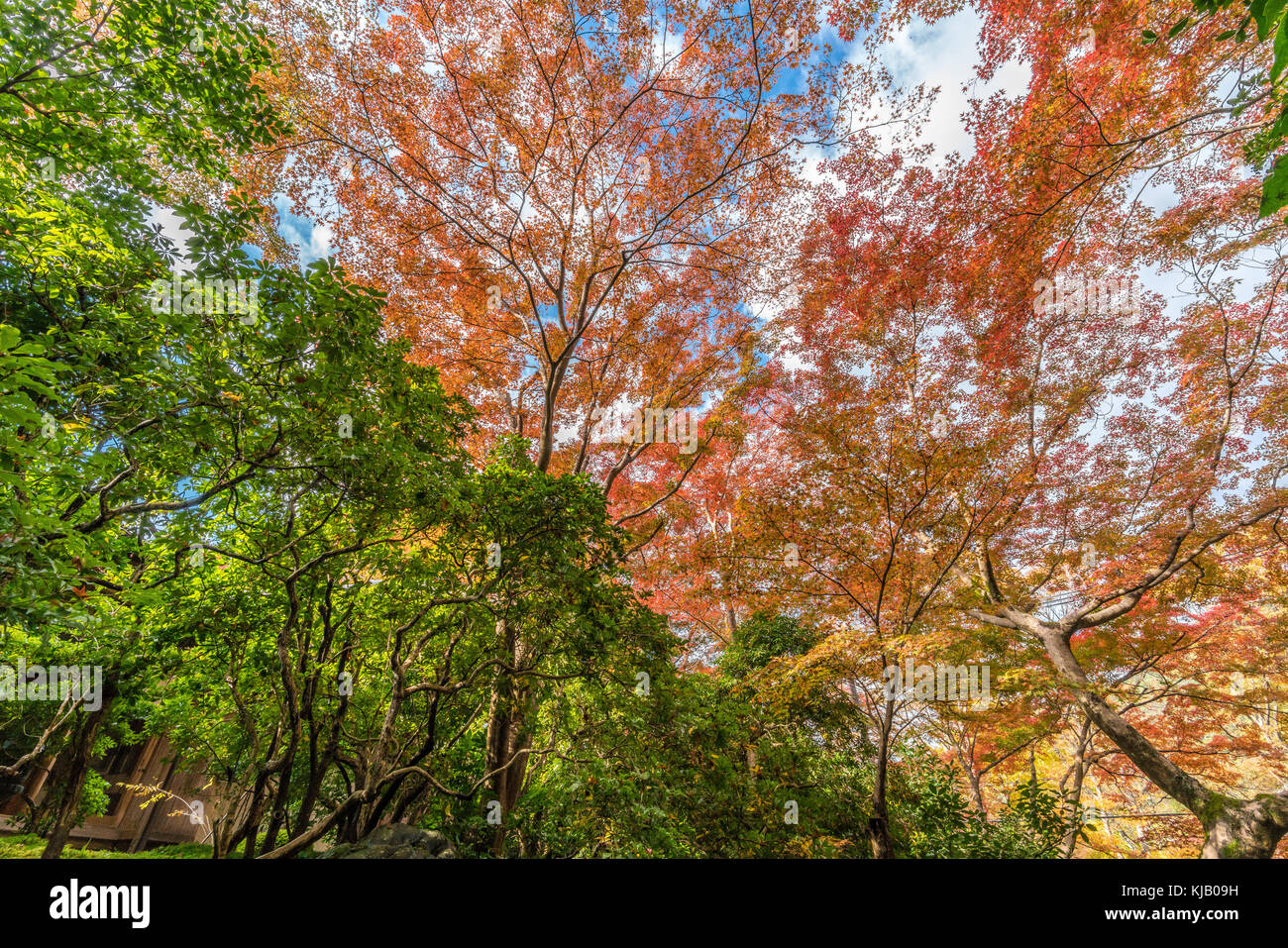 Momiji (Maple tree) Autnum leaves landscape near Ruriko-in Komyo-ji temple. Located in Sakyo ward, Kyoto, Japan - Stock Image