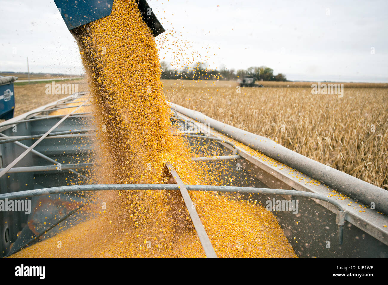 CLOSE UP UNLOADING CORN FROM GRAVITY BOX, BLOOMING PRAIRIE, MINNESOTA. - Stock Image