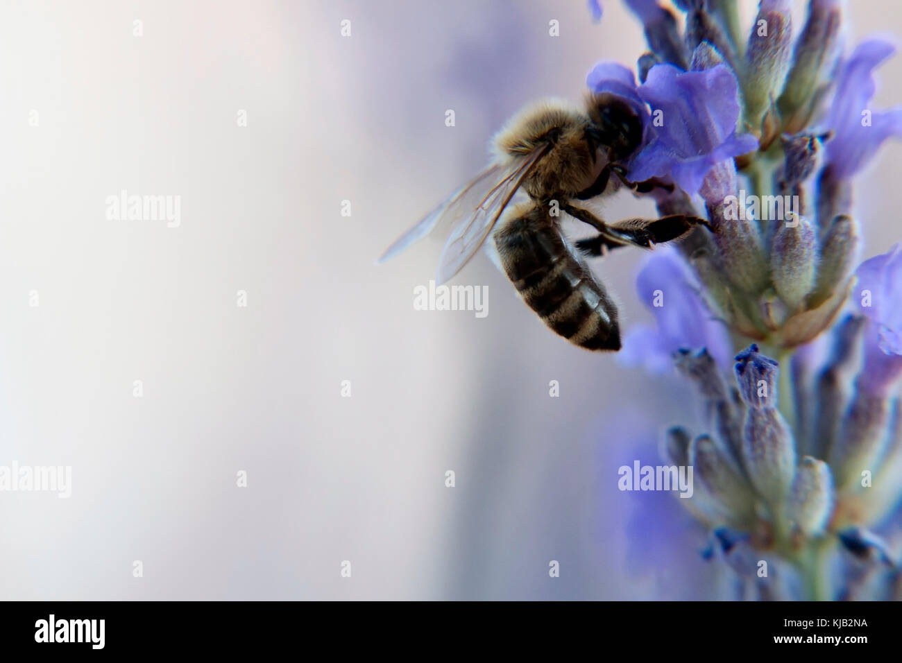 Bee on the purple lavander flower macro shot close-up wallpaper - Stock Image