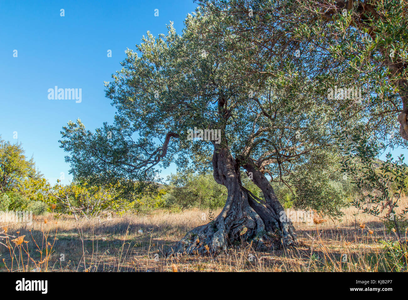 Very old olive tree with strong roots - Stock Image