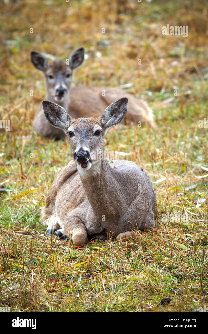 A close up shot of deer laying down on the east side of Coeur d'Alene, Idaho. - Stock Image
