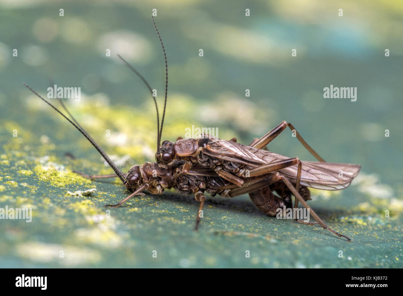 Mating Stoneflies on a signboard in a nature reserve. Cabragh Wetlands, Tipperary, Ireland. - Stock Image