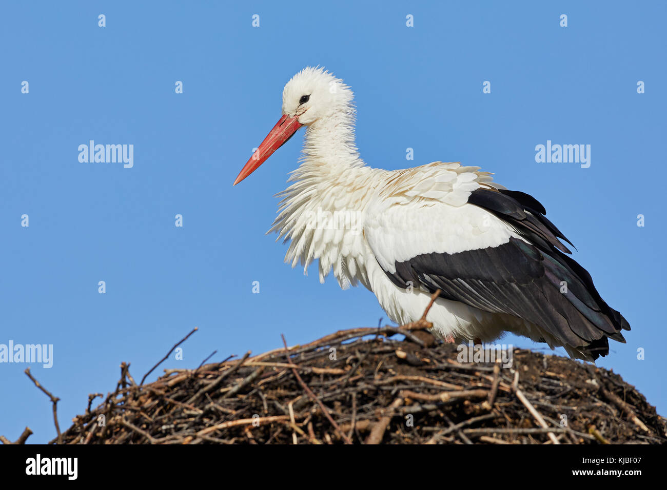 One stork on a nest against a clear blue sky - Stock Image