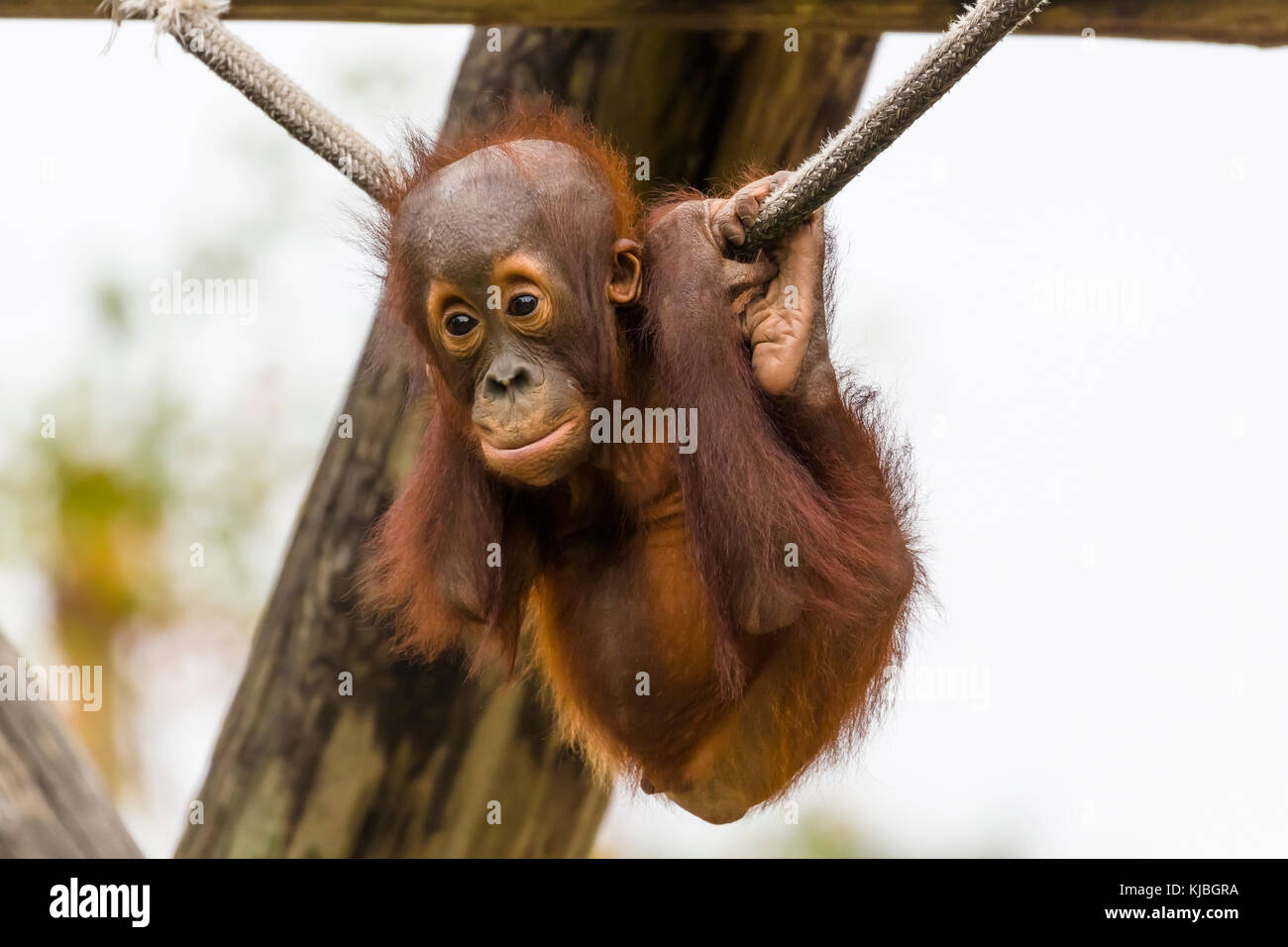 Bornean Orang-utan baby at the Lowry Park Zoo in Tampa Florida UNited States - Stock Image