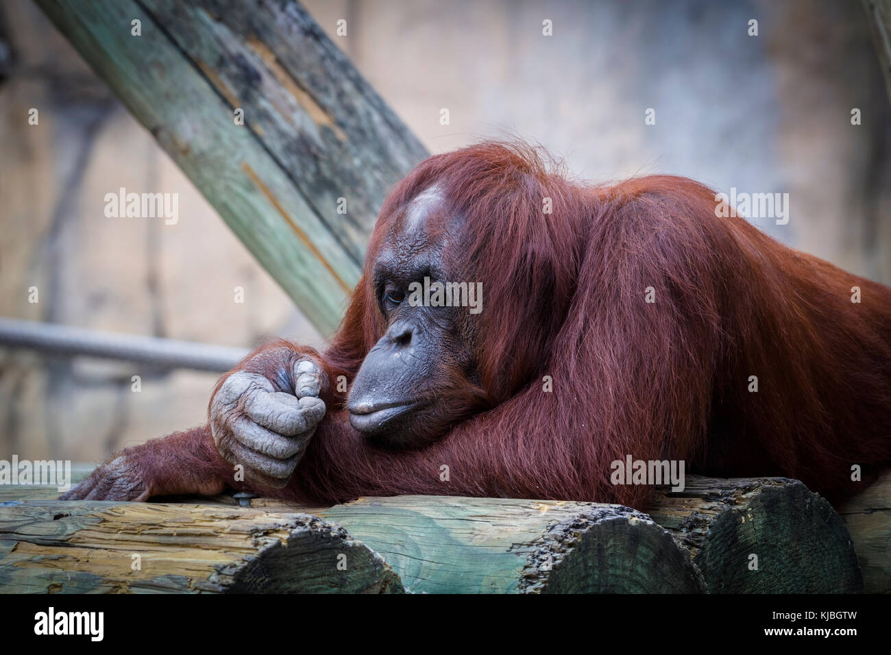 Bornean Orang-utan at the Lowry Park Zoo in Tampa Florida UNited States - Stock Image