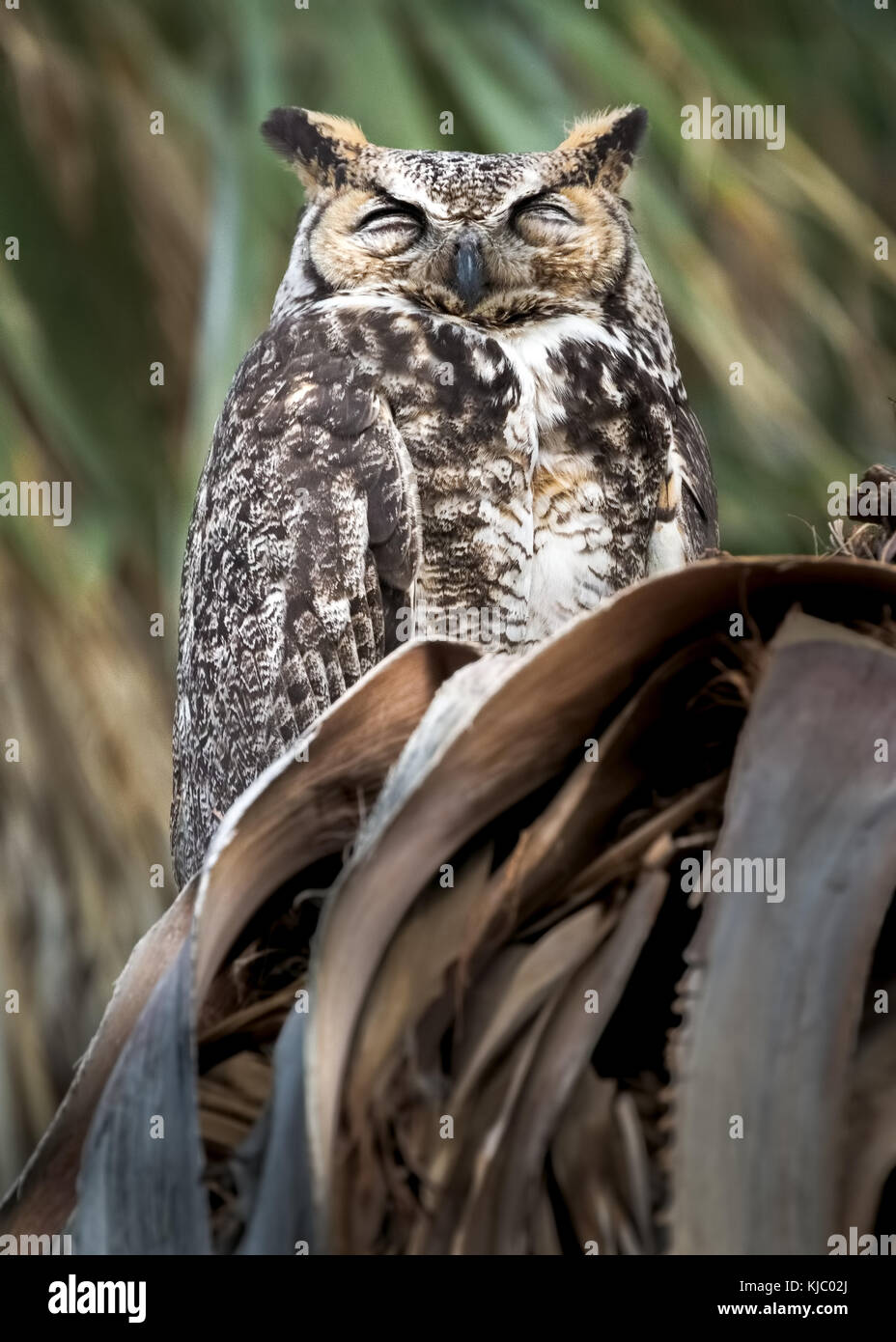 Great Horned Owl in palm tree, Coachella Valley Preserve, Riverside County, California Stock Photo