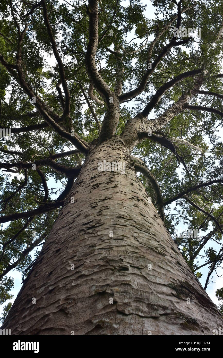 Massive trunk and tree top of kauri tree native to New Zealand. - Stock Image