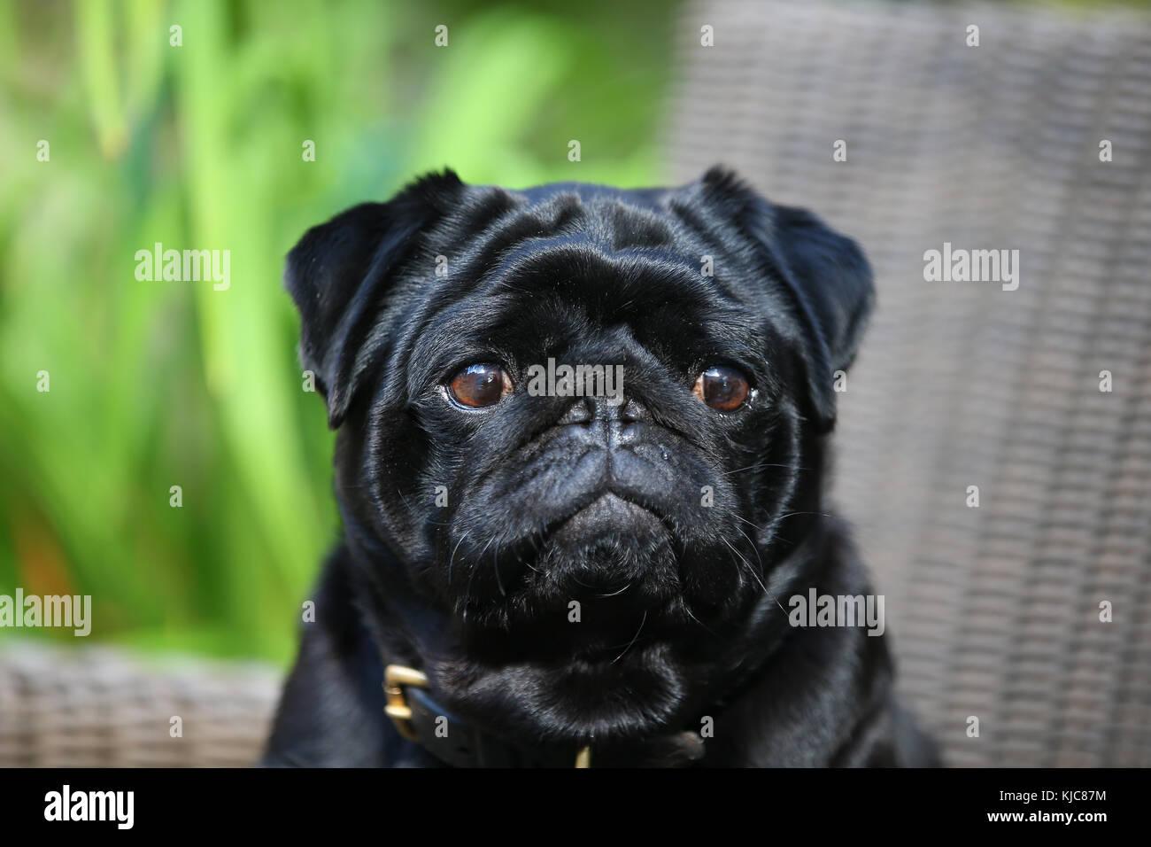 Pug Headshot Alert - Stock Image