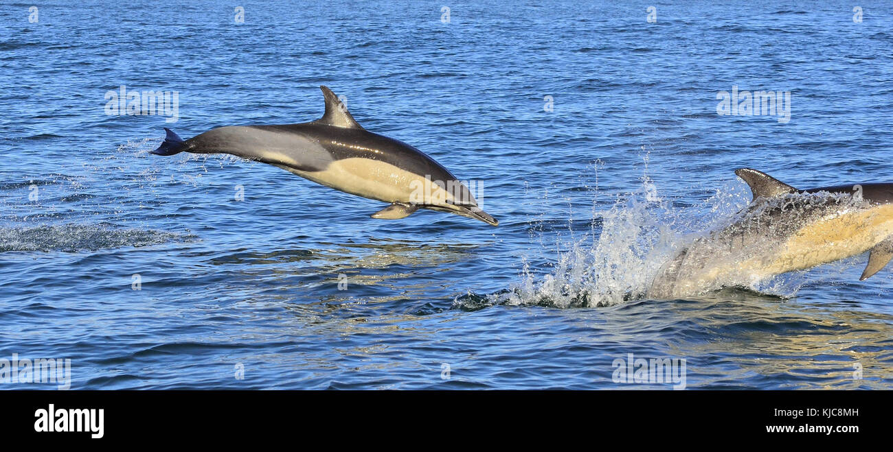 Dolphin, swimming in the ocean and hunting for fish. Dolphin swim and jumping from the water. The Long-beaked common - Stock Image