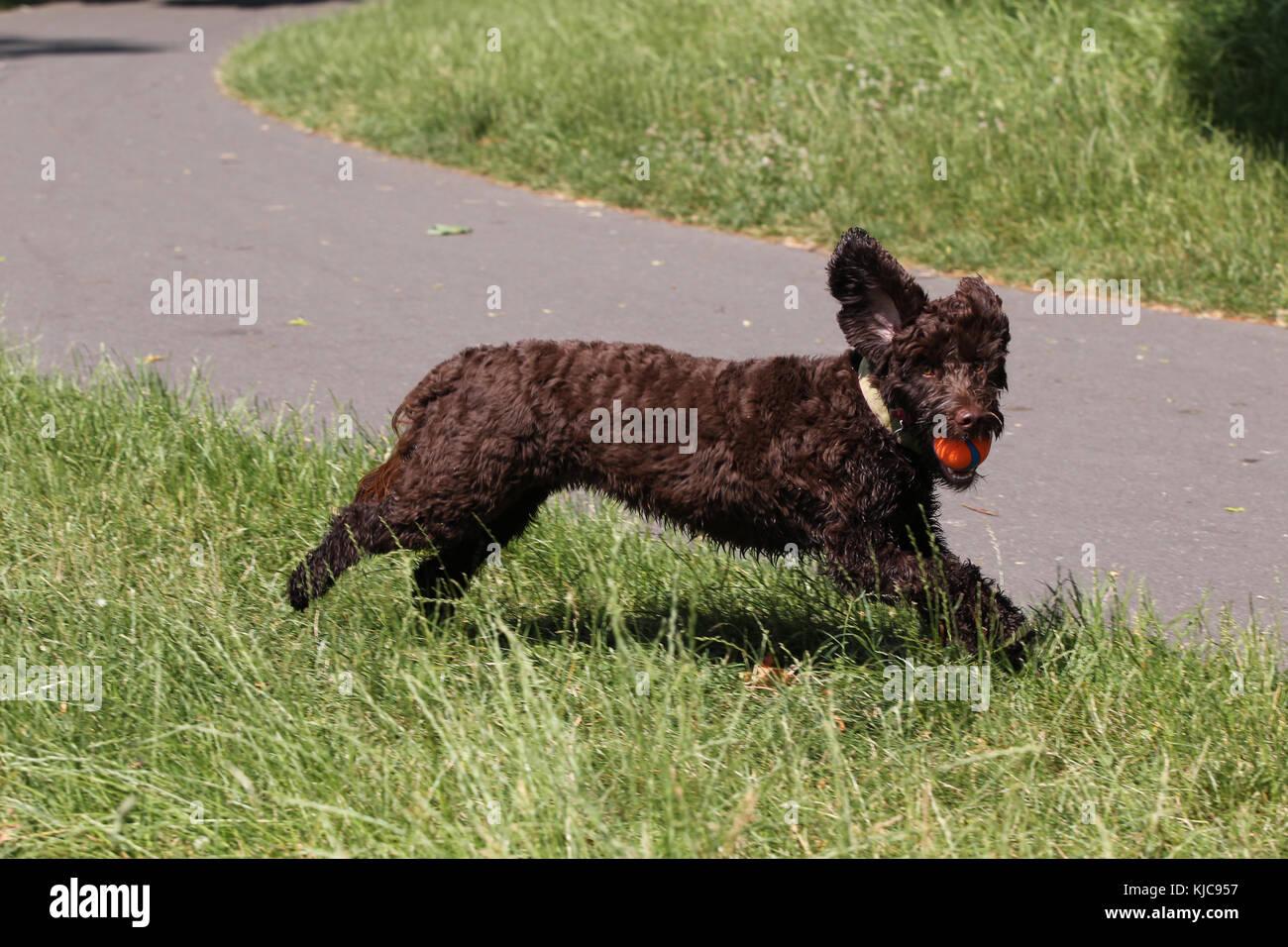 Cockerpoo Cockapoo Cocker Poodle - Stock Image