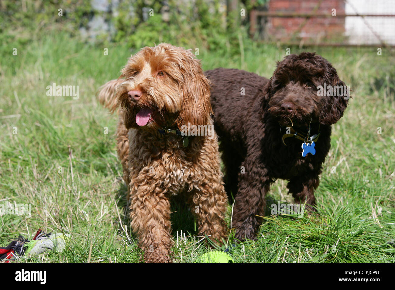 Cockerpoo Cockapoo Cocker Poodle Stock Photo