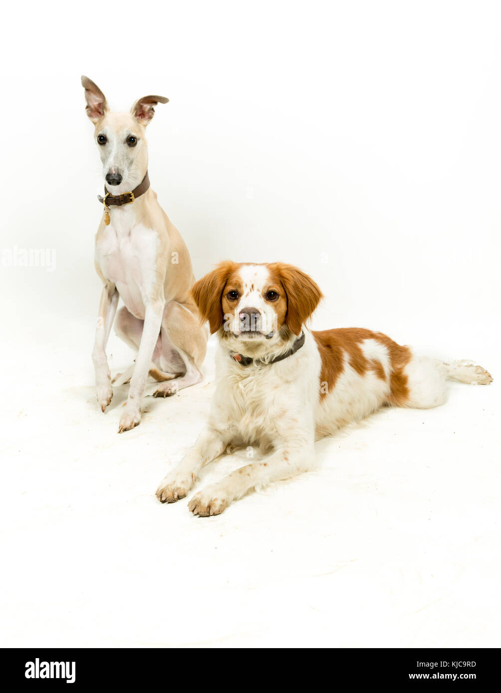 Whippet & Brittany Spaniel Dogs on White Background Stock Photo