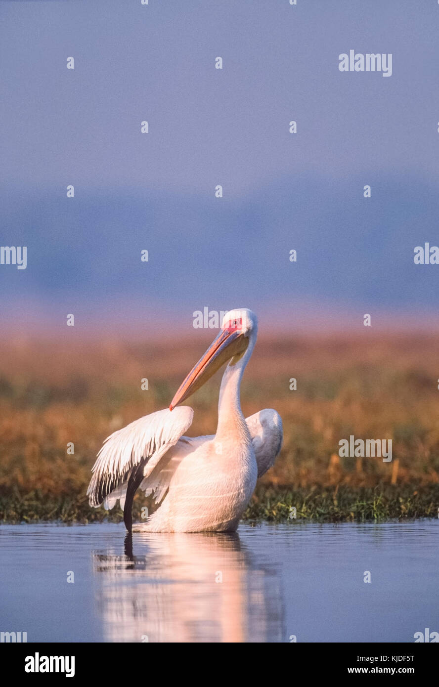 Great White Pelican,Pelecanus onocrotalus, also known Eastern white pelican or Rosy pelican, Keoladeo Ghana National - Stock Image