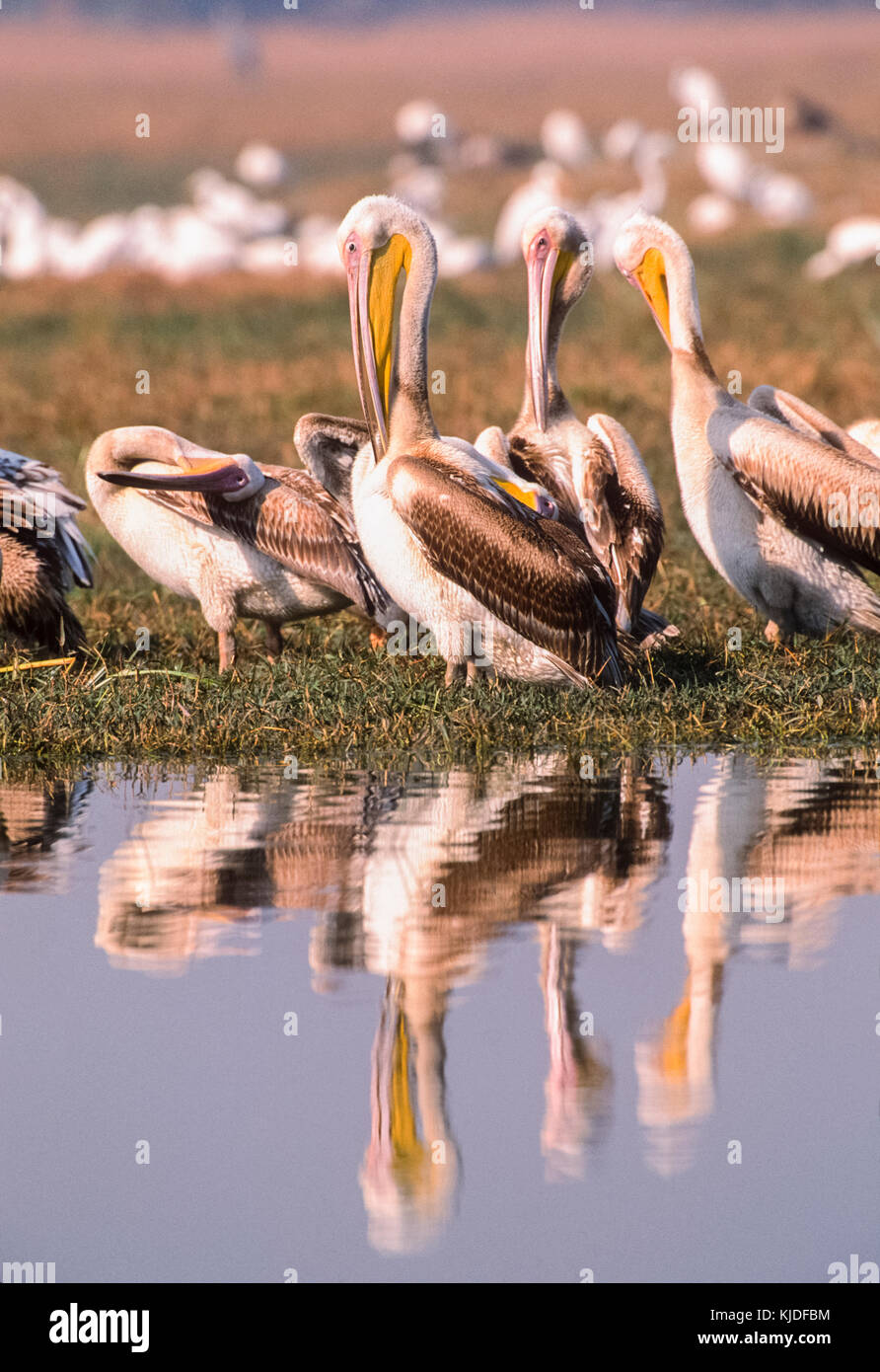 Great White Pelicans preening ,Pelecanus onocrotalus, also known Eastern white pelican or Rosy pelican, Keoladeo - Stock Image