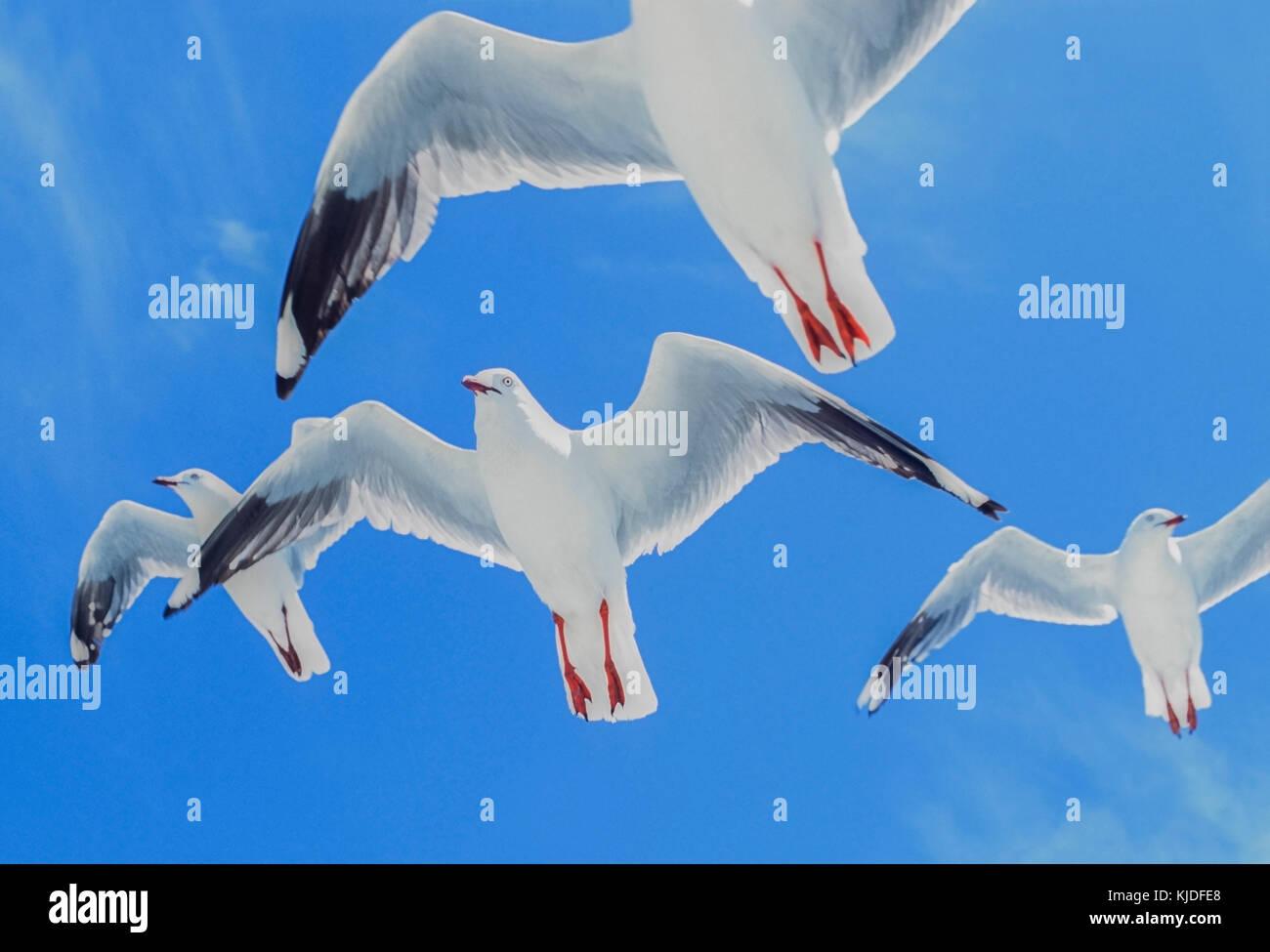 flock of Silver Gulls, (Chroicocephalus novaehollandiae), in flight, Byron Bay, New South wales, Australia Stock Photo