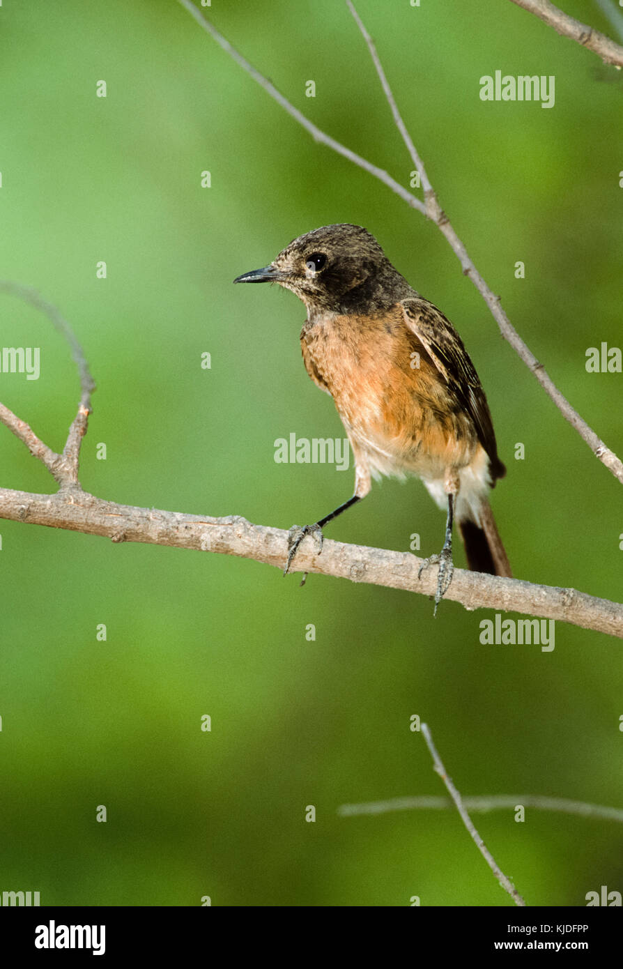 female Pied bush chat, (Saxicola caprata),Keoladeo Ghana National Park, Bharatpur, Rajasthan, India Stock Photo