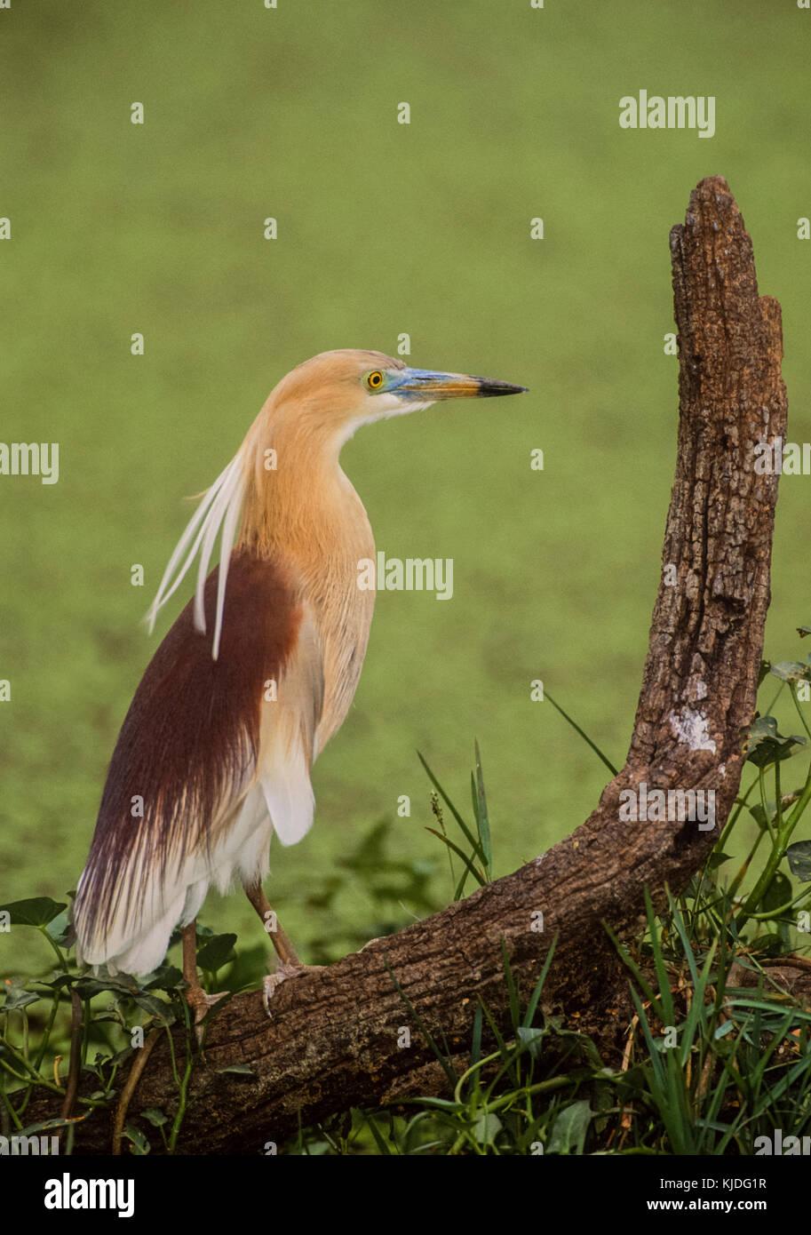 Indian Pond Heron or Paddybird , (Ardeola grayii), in breeding plumage in wetlands, Keoladeo Ghana National Park, - Stock Image