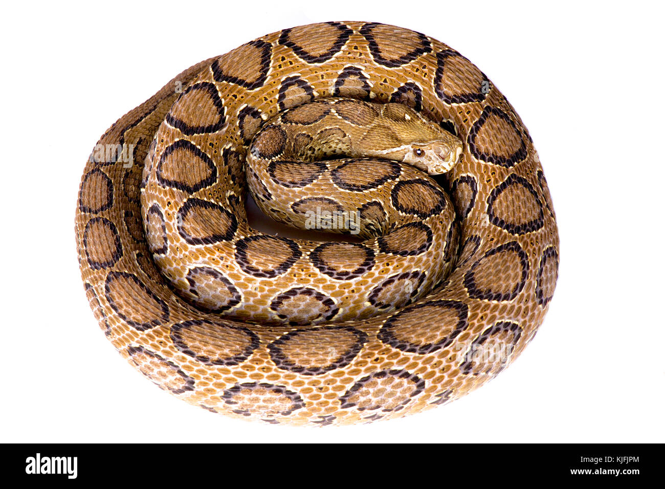 Russell's viper, Daboia russelii - Stock Image
