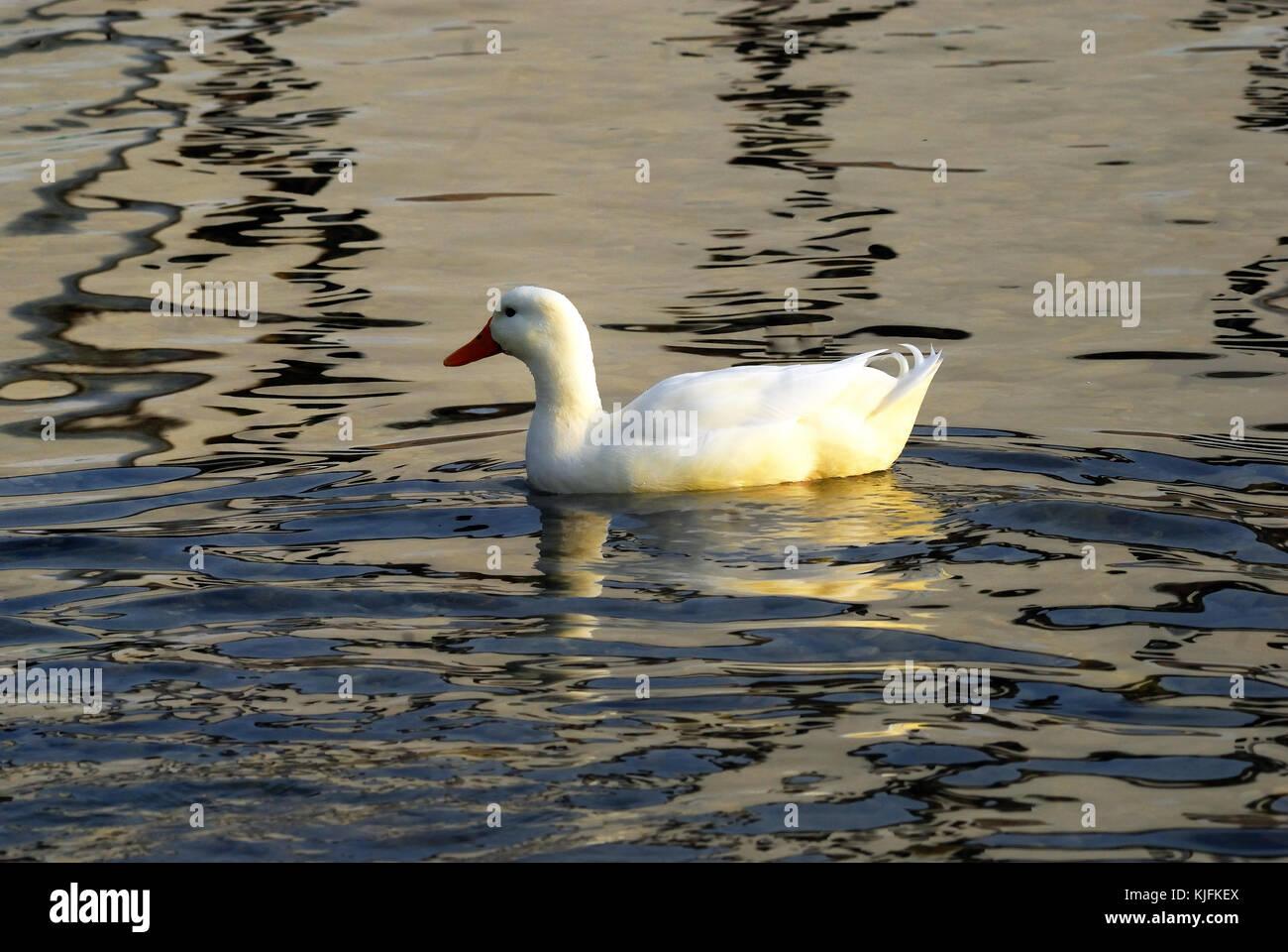 The Pekin or Peking, also White Pekin, is an American breed of domestic duck, reared principally for meat. - Stock Image