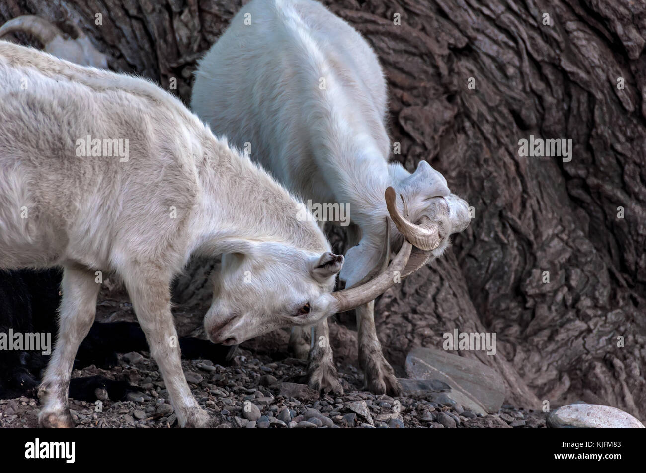 Two white goats fighting in a pasture in the mountains - Stock Image