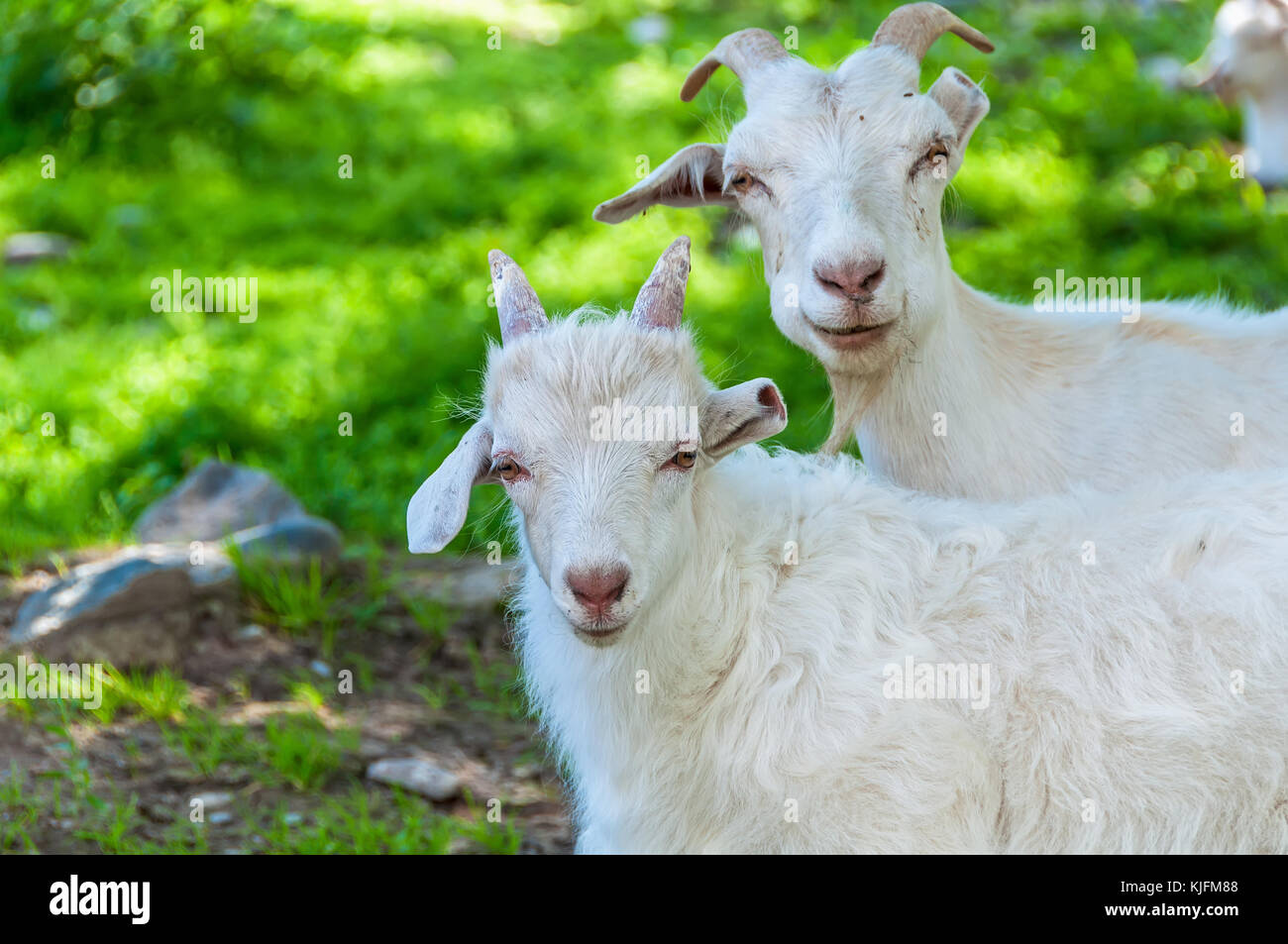White goat and a little goat grazing on a meadow in the mountains - Stock Image
