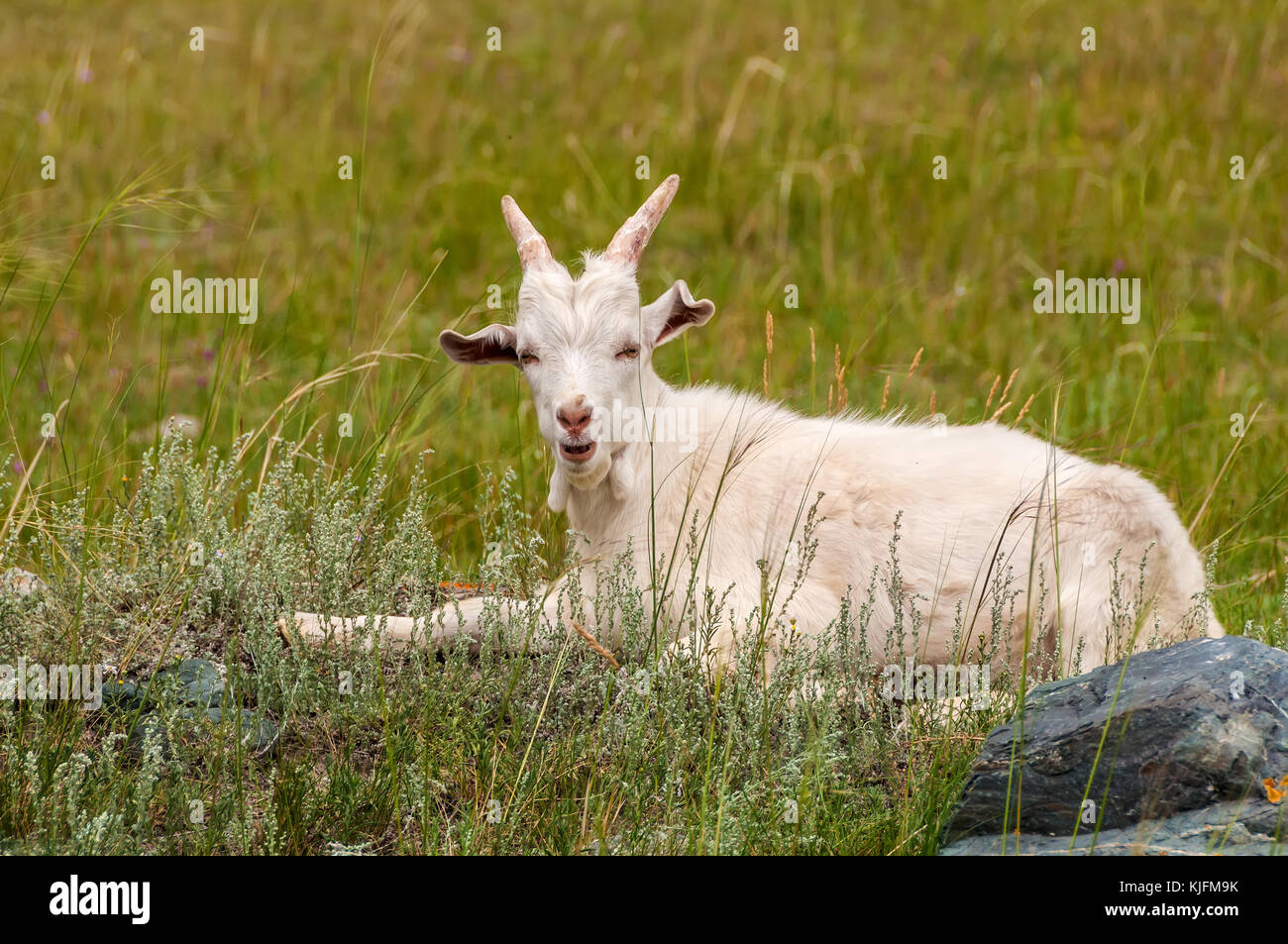 White goat lying on the grass in a meadow in the mountains - Stock Image