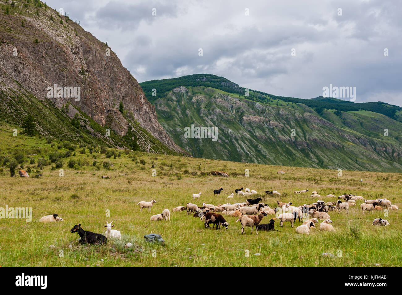 A herd of sheep and goats grazing in a meadow in the mountains on a cloudy day - Stock Image