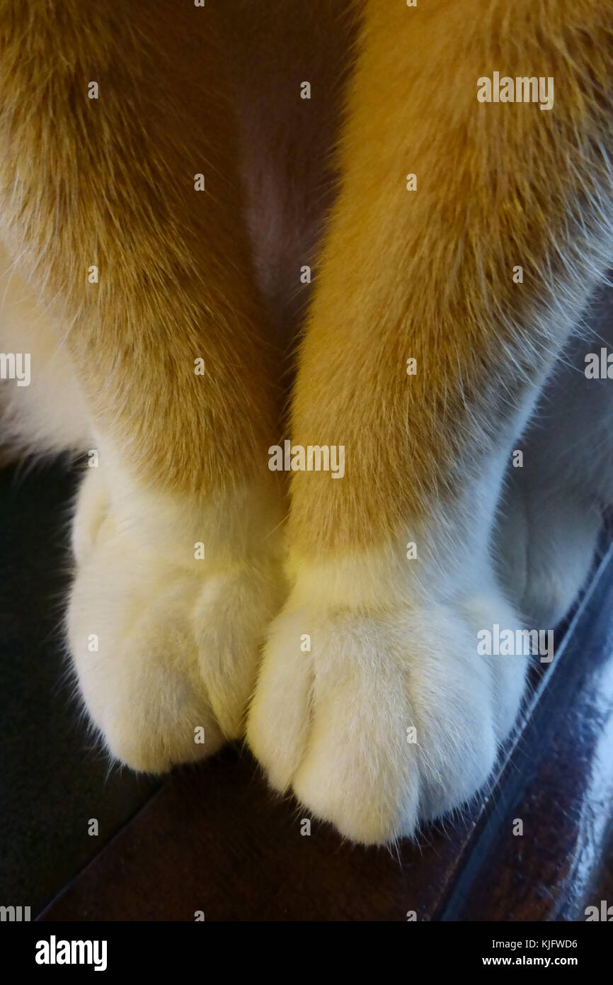 White boots on furry paws of a ginger cat as she sits on a desk - Stock Image