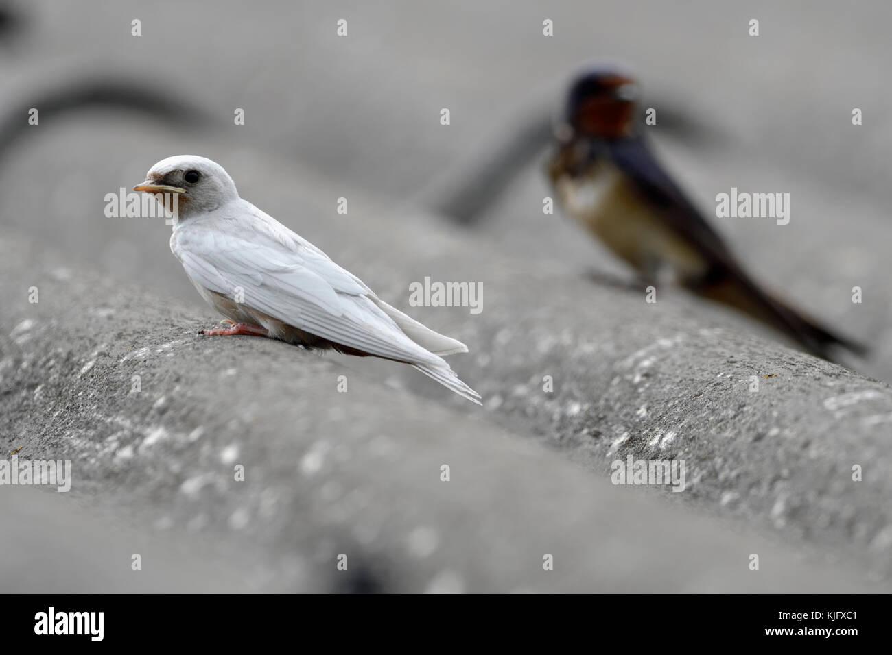 Barn Swallow ( Hirundo rustica ), fledged, gene mutation, white plumage, leucistic, leucism, perched together with - Stock Image