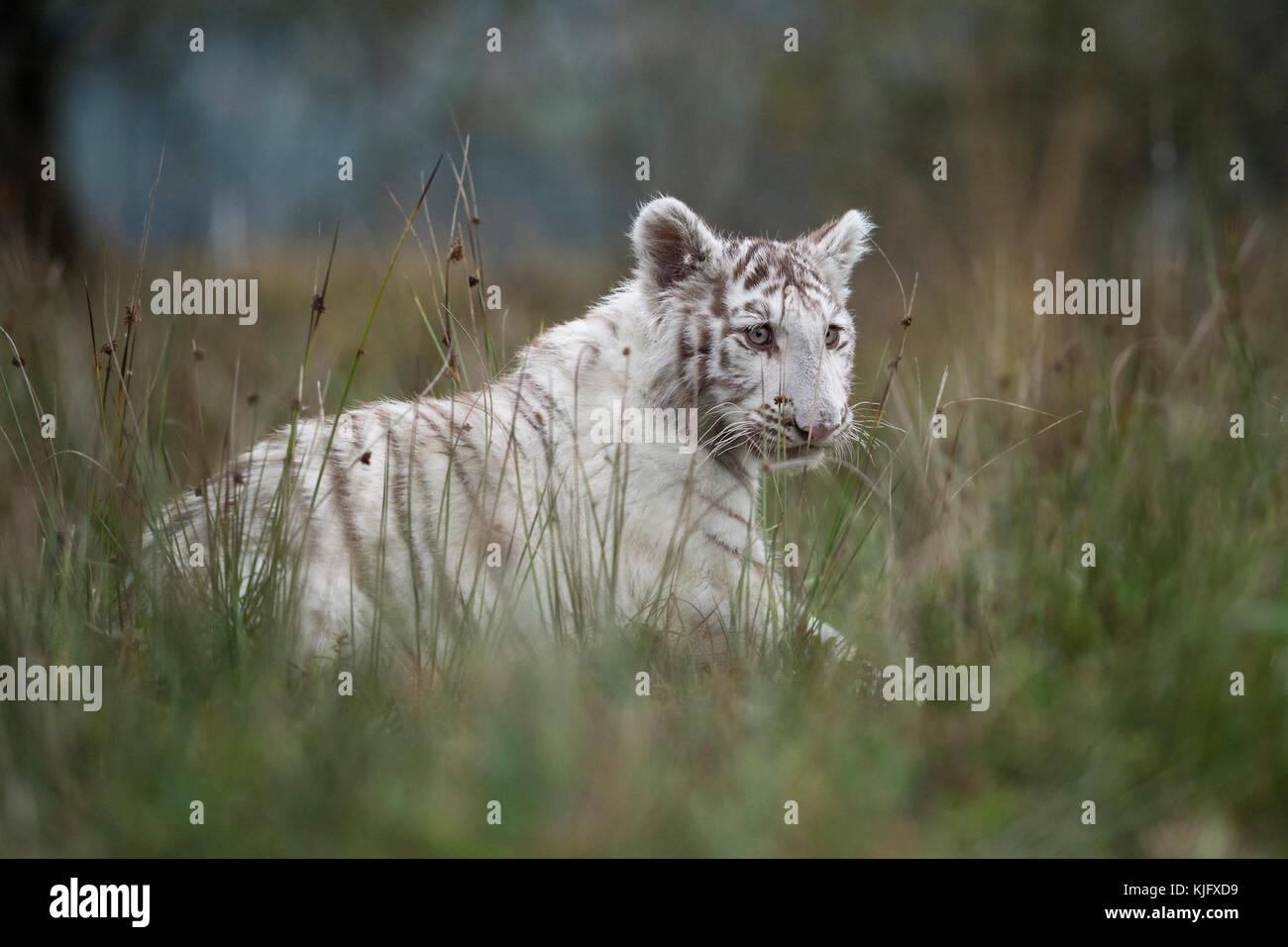 Royal Bengal Tiger ( Panthera tigris ), white animal, strolling through high grassland, side view in typical surrounding, - Stock Image