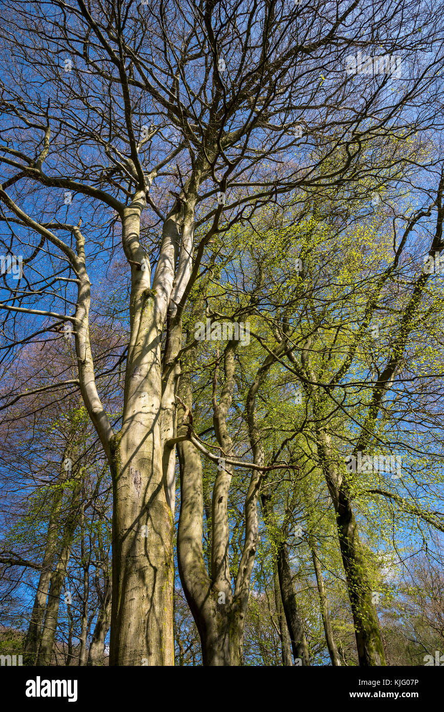 Looking up into the branches of mature Beech trees in spring sunshine against a clear blue sky. Stock Photo