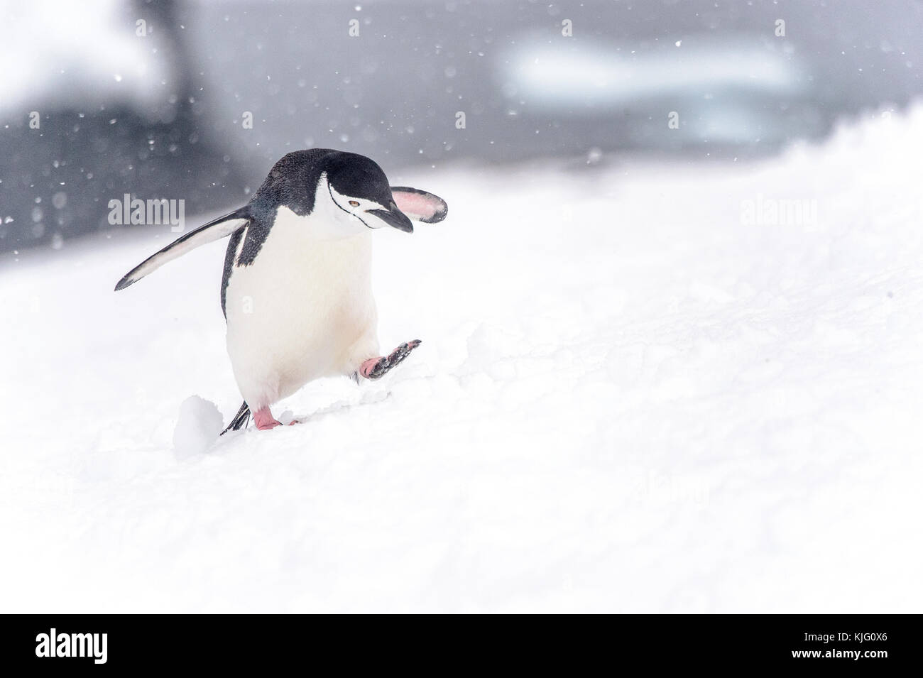 Chinstrap Penguin trudging uphill in the snow - Stock Image