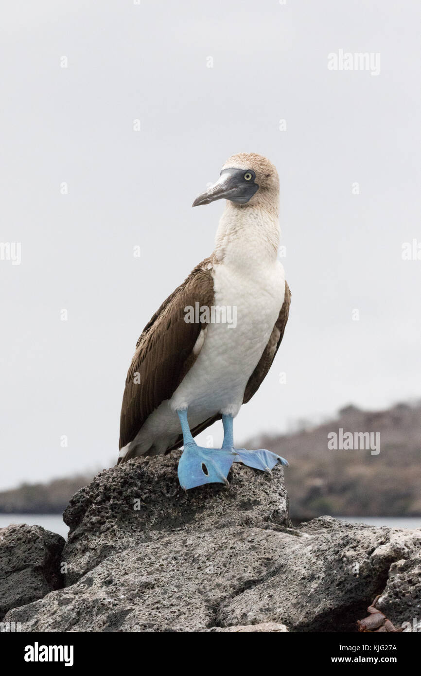 Blue Footed Booby, ( Sula nebouxii ), adult male looking to the left, Floreana Island, Galapagos Islands - Stock Image