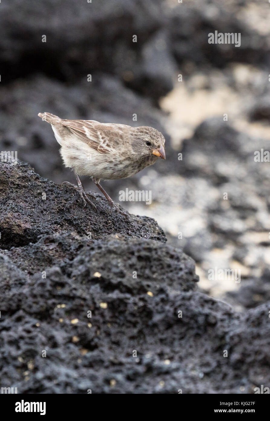 Darwin Finch - a Small Ground Finch, ( Geospiza fuliginosa ), on lava rock, Espanola Island, Galapagos Islands - Stock Image