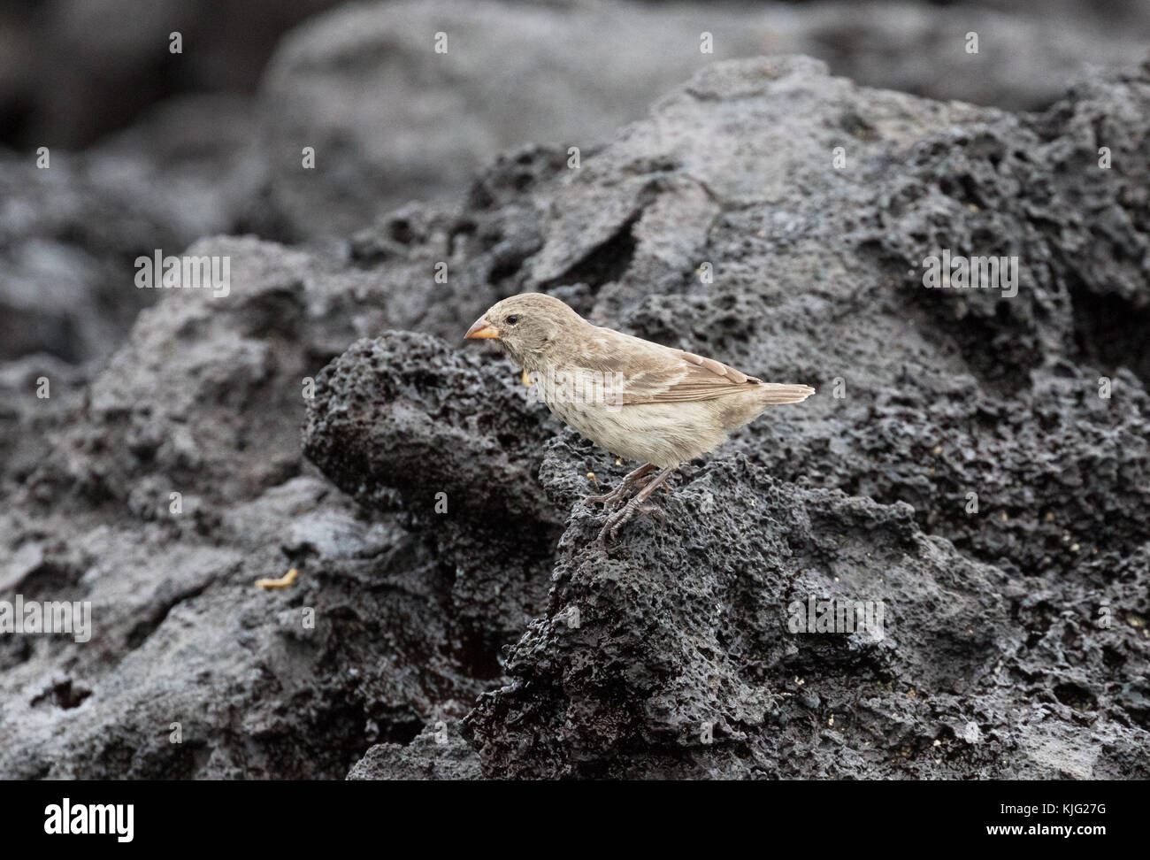 Darwins Finches - a Small Ground Finch, ( Geospiza fuliginosa ), on lava rock, Espanola Island, Galapagos Islands - Stock Image