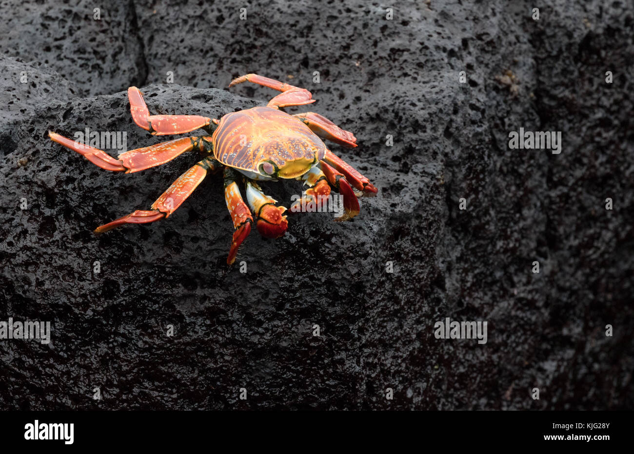 Sally Lightfoot crab, ( Grapsus grapsus  ), also known as Red rock crab or  Abuete negro,  Floreana Island, Galapagos - Stock Image