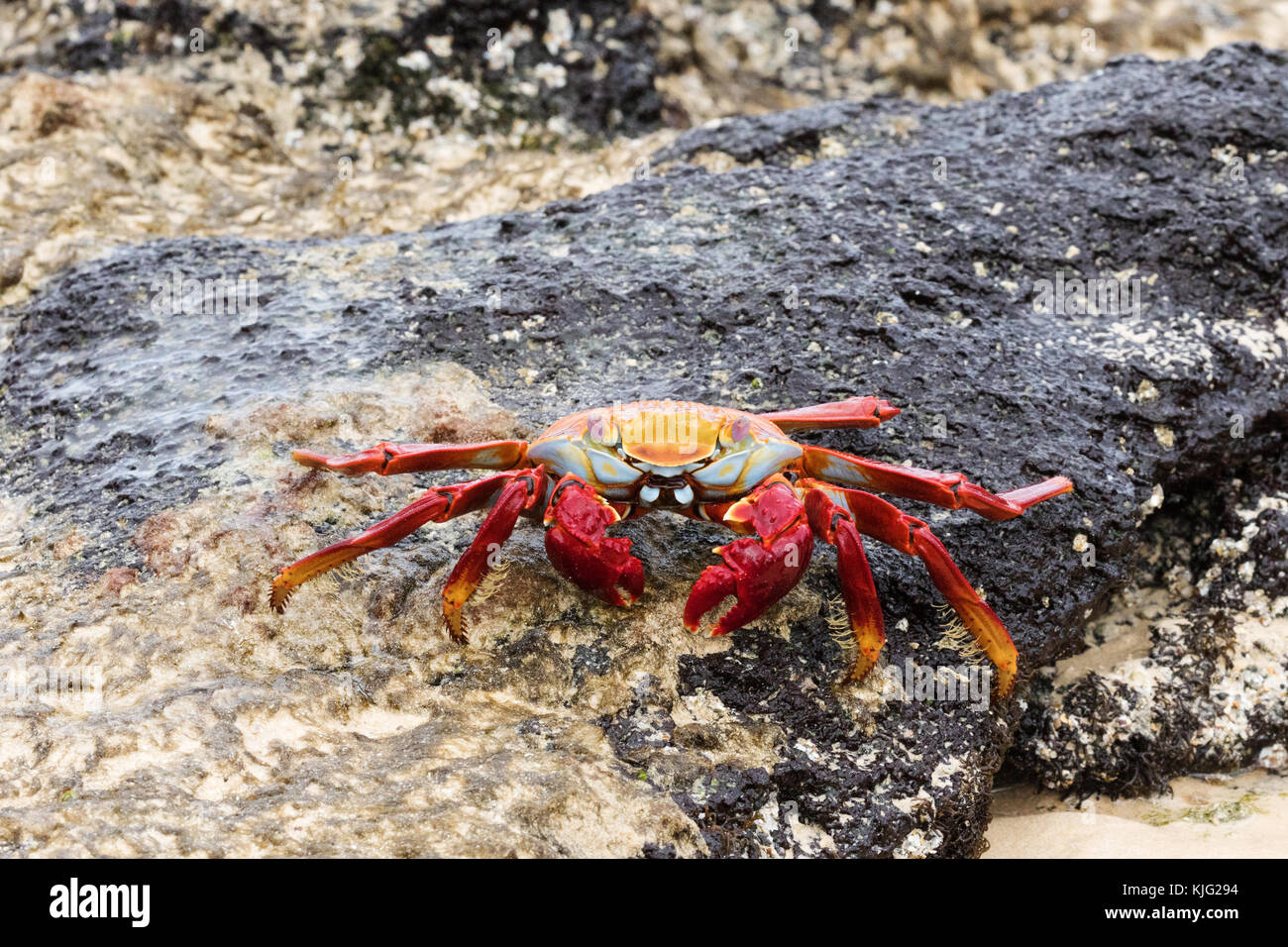 Sally Lightfoot crab, ( Grapsus grapsus  ), also known as Red rock crab or  Abuete negro,  Floreana Island, Galapagos Stock Photo
