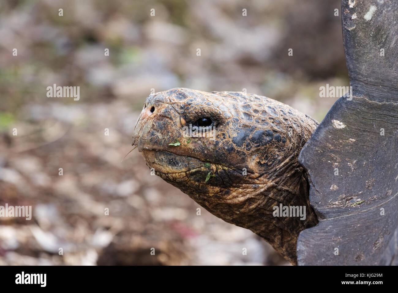 Galapagos Giant tortoise, Chelonoidis nigra,  head looking left, Galapagos Islands, Ecuador South America - Stock Image