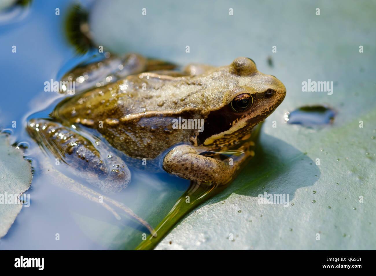 Grasfrosch (Rana temporaria) sitzt auf Blatt von Seerose, Bayern, Deutschland - Stock Image
