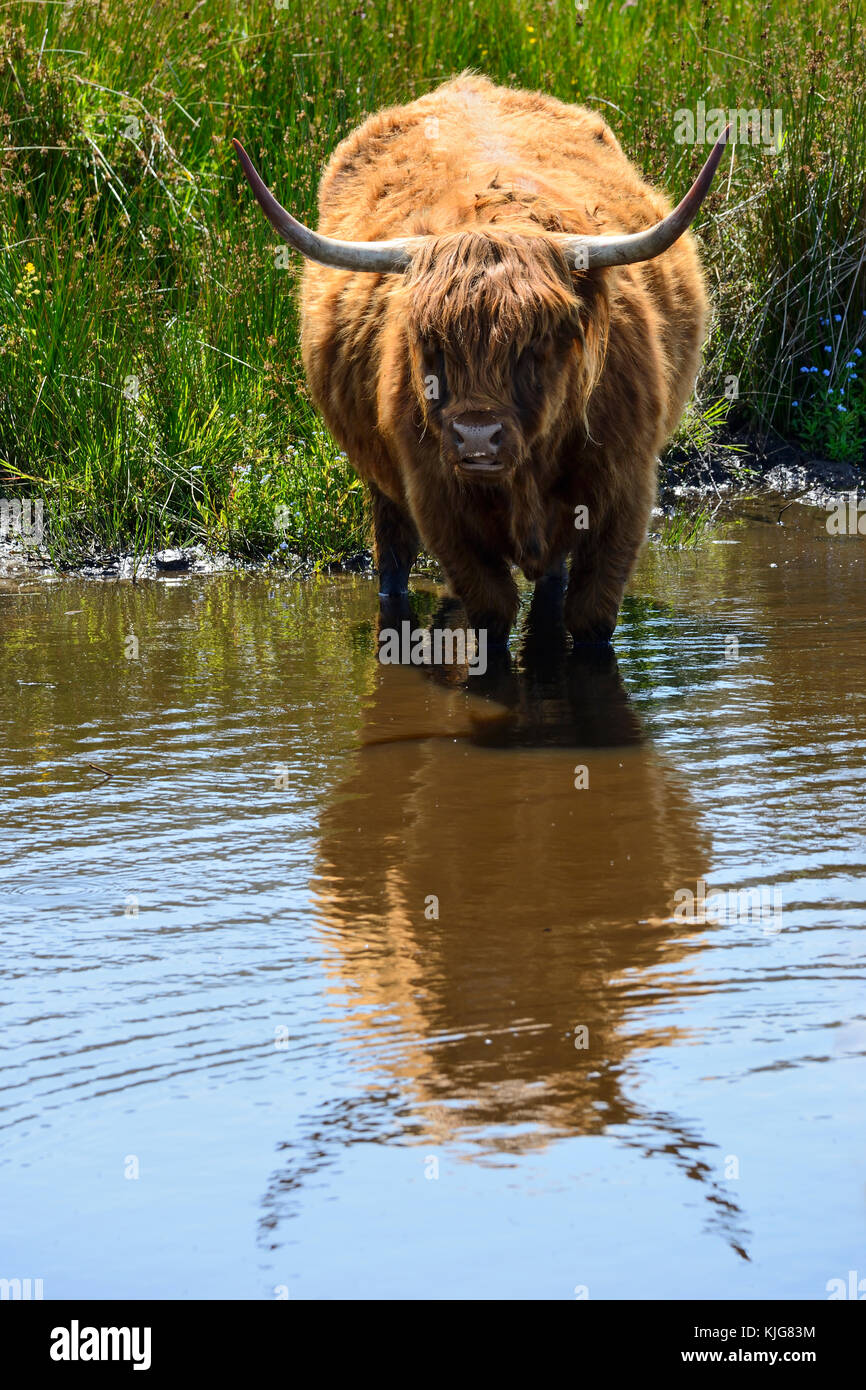 Long-haired highland cattle cooling off in wetlands at RSPB Van Farm Nature Reserve on Loch Leven, Perth and Kinross, - Stock Image