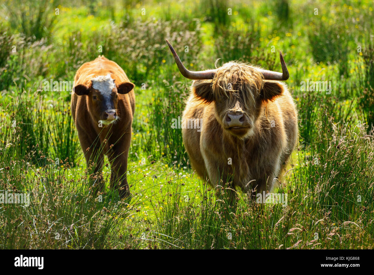 Highland cow with calf approaching water's edge at RSPB Van Farm Nature Reserve on Loch Leven, Perth and Kinross, - Stock Image